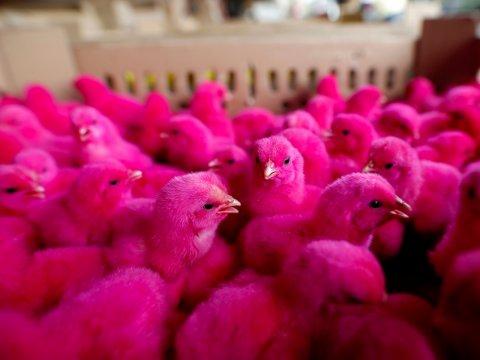pink-chickens